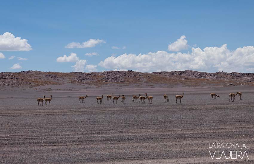 Salar-Uyuni-llamas