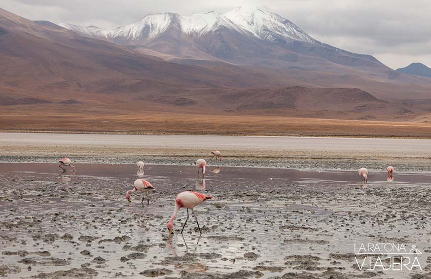 flamenco Salar-Uyuni-