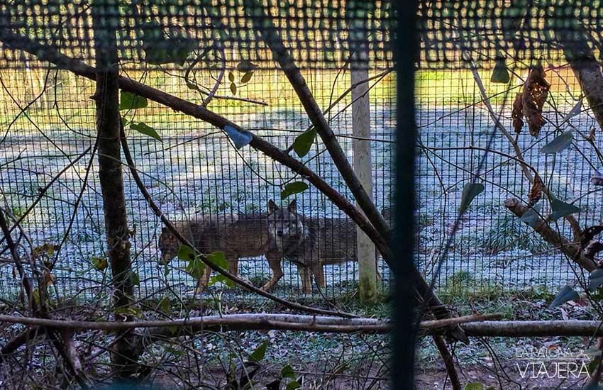 lobo-iberico-belmonte-miranda